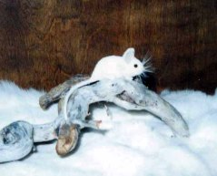 white deer mouse AA
